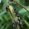 Photos: マメ科の草に沢山集まってたミナミアオカメムシの幼虫 - 4