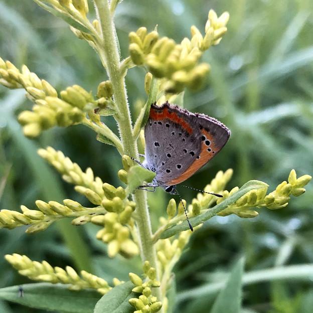 草の上にとまるベニシジミ - 1