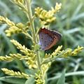 Photos: 草の上にとまるベニシジミ - 1
