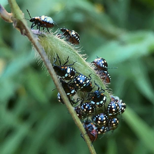 マメ科の草に沢山集まってたミナミアオカメムシの幼虫 - 2
