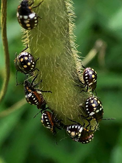 マメ科の草に沢山集まってたミナミアオカメムシの幼虫 - 5