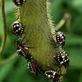 Photos: マメ科の草に沢山集まってたミナミアオカメムシの幼虫 - 5