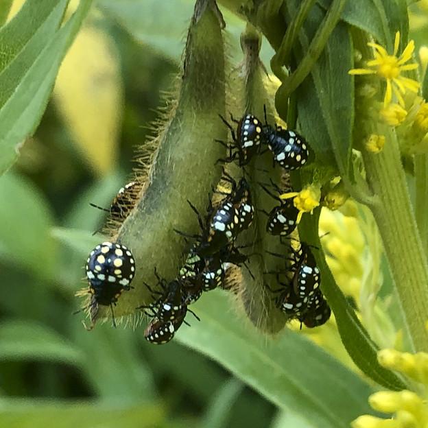 マメ科の草に沢山集まってたミナミアオカメムシの幼虫 - 7