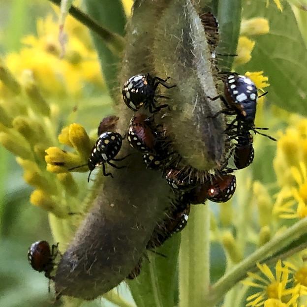 マメ科の草に沢山集まってたミナミアオカメムシの幼虫 - 8