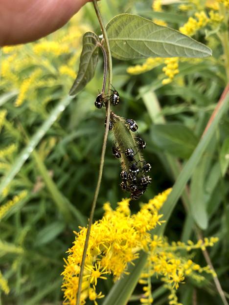 マメ科の草に沢山集まってたミナミアオカメムシの幼虫 - 6