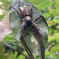 Photos: 葉っぱの上にいた…コモリグモ? - 5