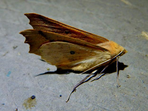 とまってる姿がカッコよかった蛾 - 3