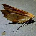 Photos: とまってる姿がカッコよかった蛾 - 3