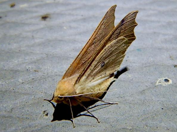 とまってる姿がカッコよかった蛾 - 2