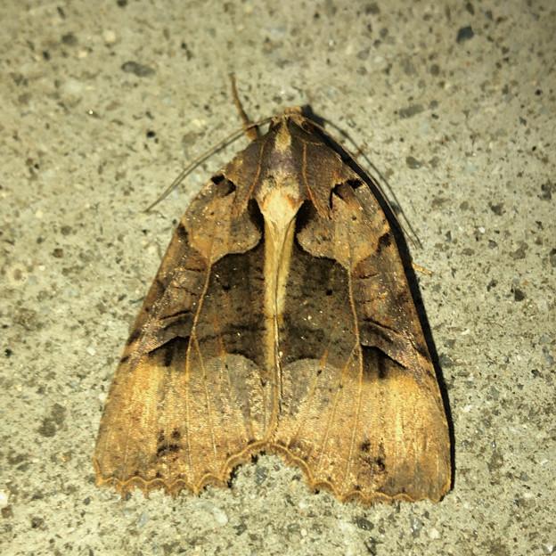 ちょっと変わった模様の蛾 - 1