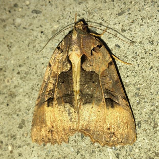 ちょっと変わった模様の蛾 - 2