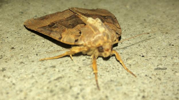 ちょっと変わった模様の蛾 - 4