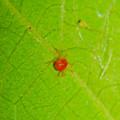 葉っぱの裏にいたタカラダニ - 3