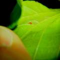 葉っぱの裏にいたタカラダニ - 6