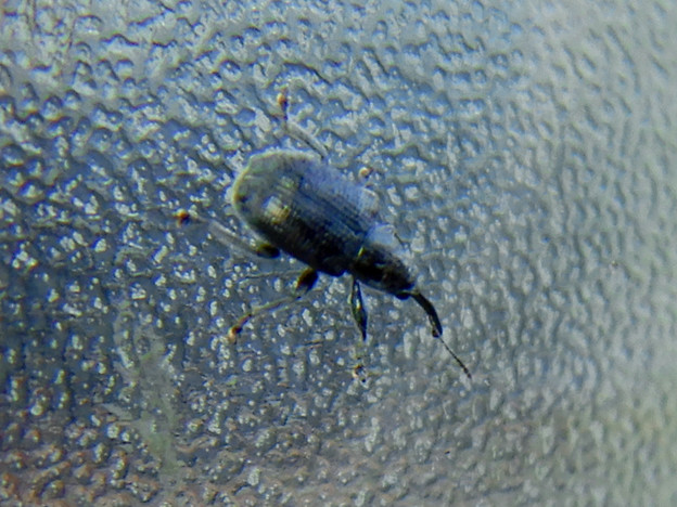 すりガラスの上にいた小さな黒いゾウムシ - 2