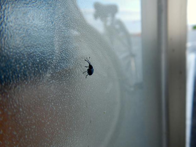 すりガラスの上にいた小さな黒いゾウムシ - 6