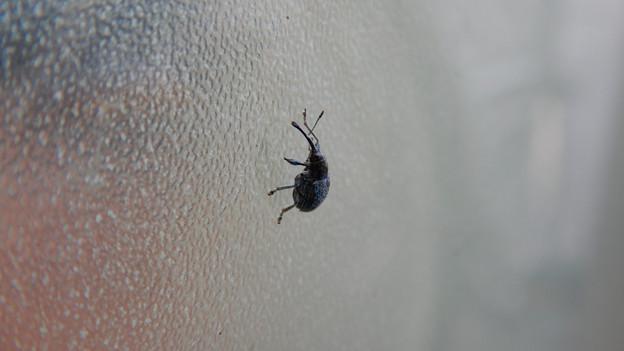 すりガラスの上にいた小さな黒いゾウムシ - 11