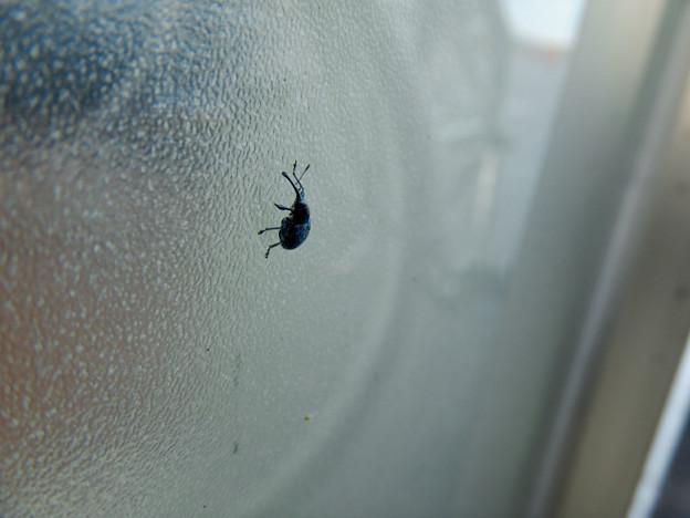 すりガラスの上にいた小さな黒いゾウムシ - 3
