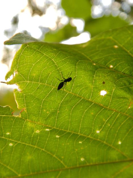 アリとほんと区別が付かないアリグモのメス - 1