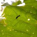 Photos: アリとほんと区別が付かないアリグモのメス - 1
