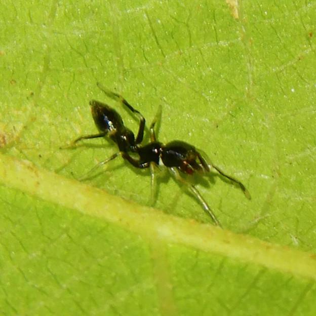Photos: アリとほんと区別が付かないアリグモのメス - 6