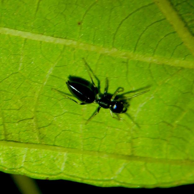 アリとほんと区別が付かないアリグモのメス - 9