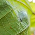 Photos: アリとほんと区別が付かないアリグモのメス - 3