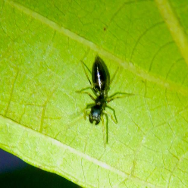 アリとほんと区別が付かないアリグモのメス - 10