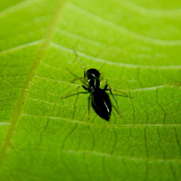 アリとほんと区別が付かないアリグモのメス - 11