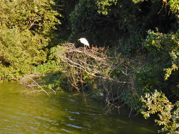 珍しく木の上にいたシラサギ - 1