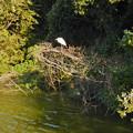 Photos: 珍しく木の上にいたシラサギ - 1