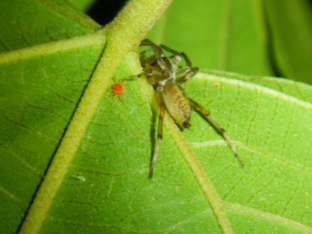 タカラダニと蜘蛛 - 2