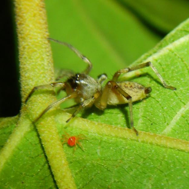 タカラダニと蜘蛛 - 8