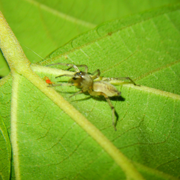 タカラダニと蜘蛛 - 1