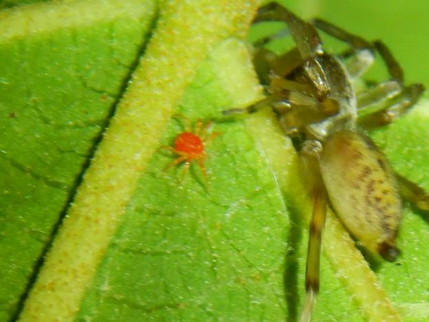 タカラダニと蜘蛛 - 3