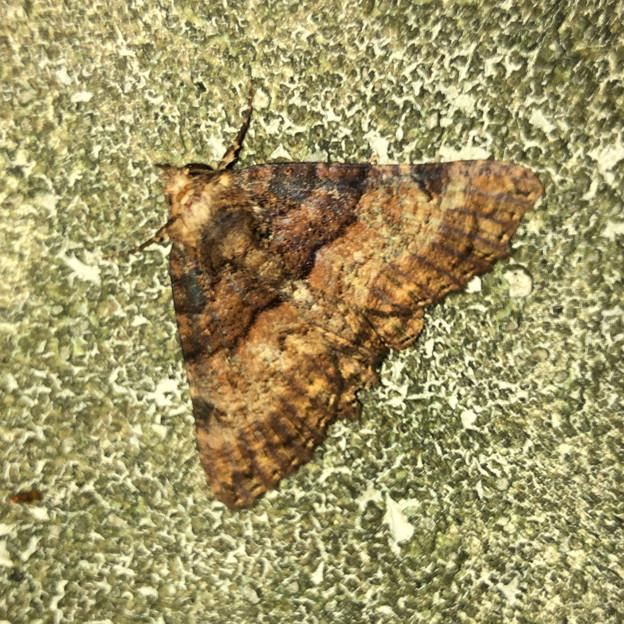 茶色い縞模様の蛾(ハガタクチバ?)