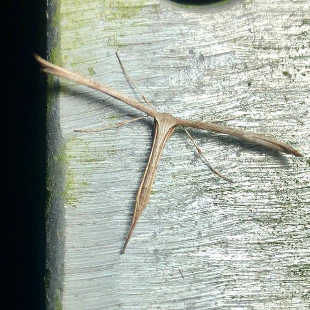 とても細長い蛾「ヒルガオトリバ」 - 2