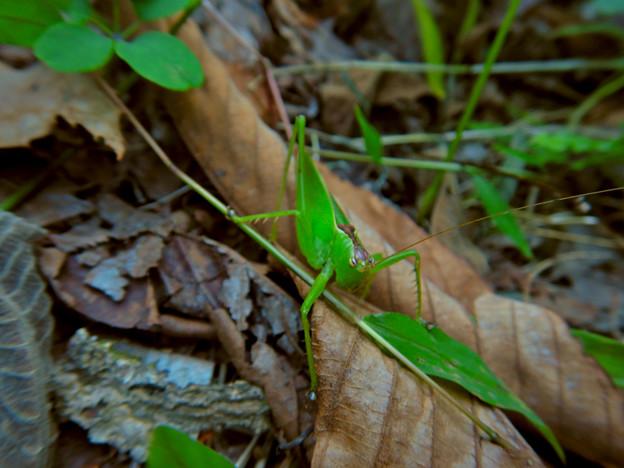 林の奥にいたハヤシノウマオイ - 5