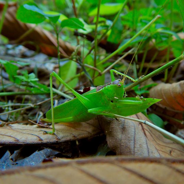 林の奥にいたハヤシノウマオイ - 6