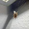 アピタ高蔵寺店にいた蜘蛛 - 1