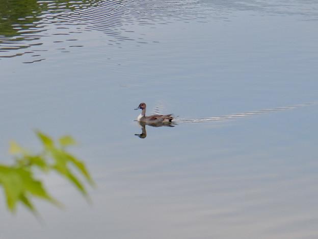 小幡緑地 緑ヶ池にいた鳥 - 1
