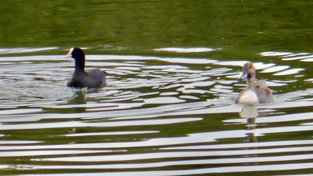 小幡緑地 緑ヶ池にいた鳥 - 3:オオバン(写真左)と別の種類の鳥