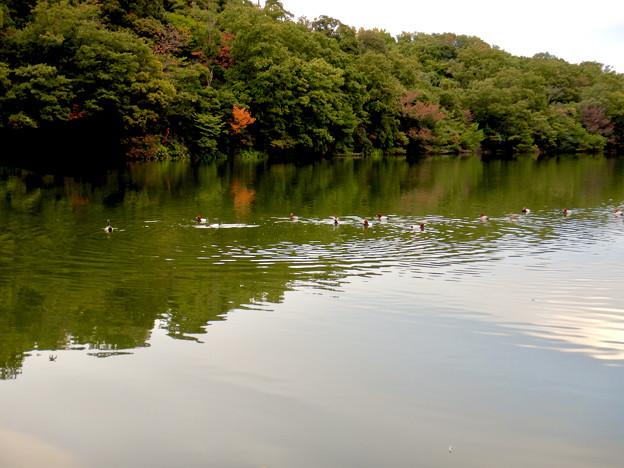 小幡緑地 緑ヶ池にいた鳥 - 9:ホシハジロの群れ