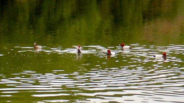小幡緑地 緑ヶ池にいた鳥 - 10:ホシハジロの群れ
