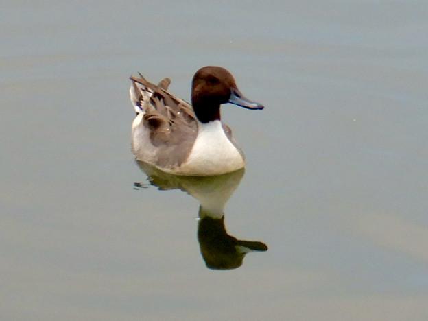小幡緑地 緑ヶ池にいた鳥 - 13:オナガガモのオス