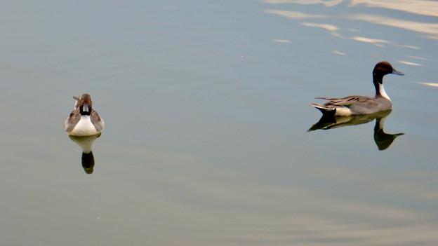 小幡緑地 緑ヶ池にいた鳥 - 14:オナガガモのオス
