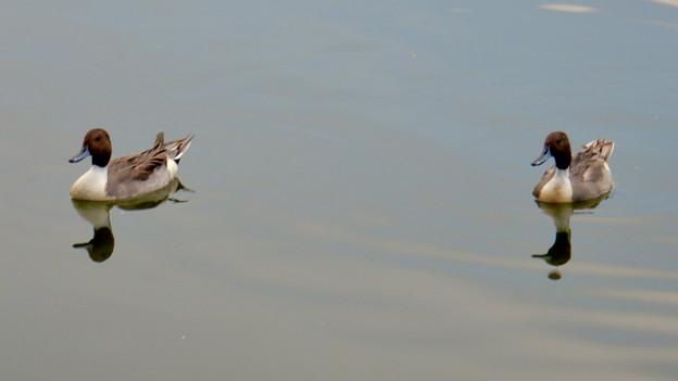 小幡緑地 緑ヶ池にいた鳥 - 15:オナガガモのオス