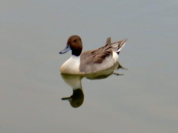 小幡緑地 緑ヶ池にいた鳥 - 16:オナガガモのオス