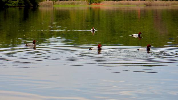 小幡緑地 緑ヶ池にいた鳥 - 19:ホシハジロの群れ