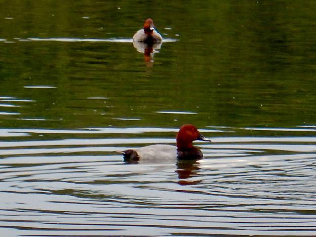 小幡緑地 緑ヶ池にいた鳥 - 20:ホシハジロの群れ